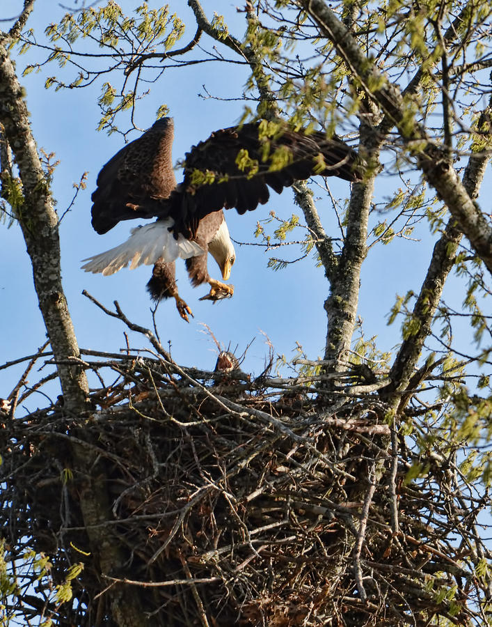 Bald Eagle Taking Fish To Nest 031520169678 Photograph