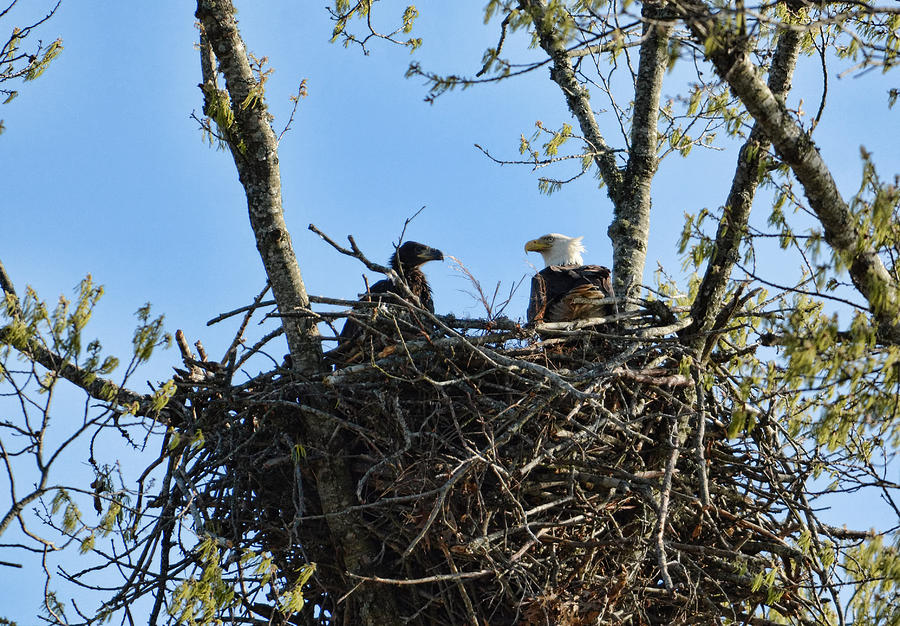 Bald Eagle With Chick In Nest 031520169849 Photograph