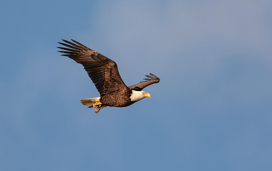 Bald Eagle With Fish 031520169640 Photograph