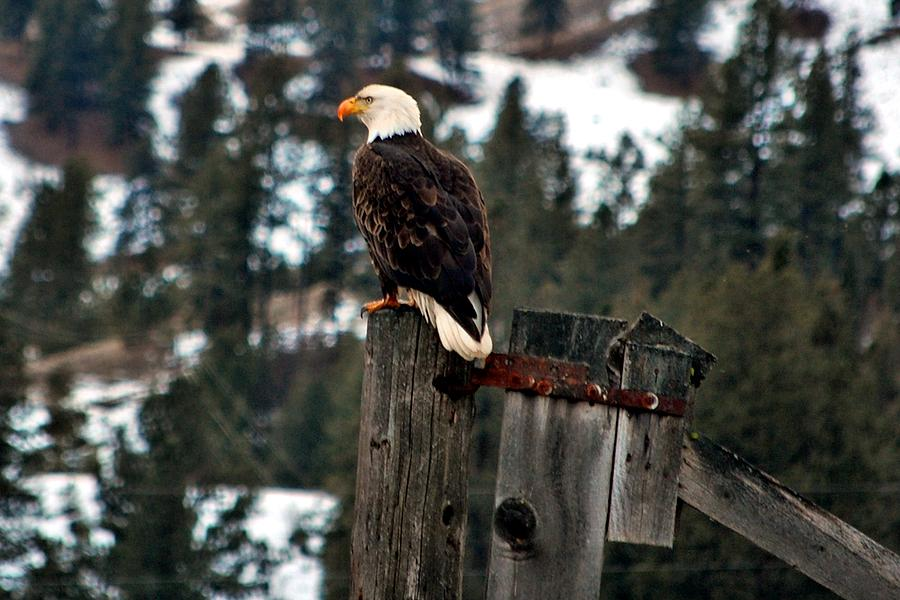 Eagles Photograph - Baldy On A Post by Don Mann