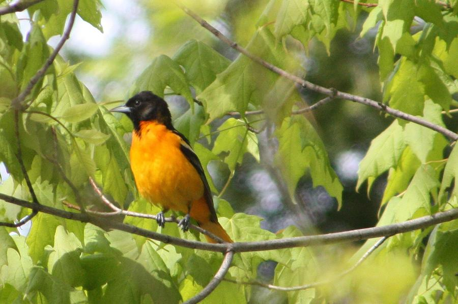Baltimore Orioles Bird Nature Orange Tree Ntw Lauren 2010 Color  Photograph - Baltimore Orioles  by Nancy TeWinkel Lauren
