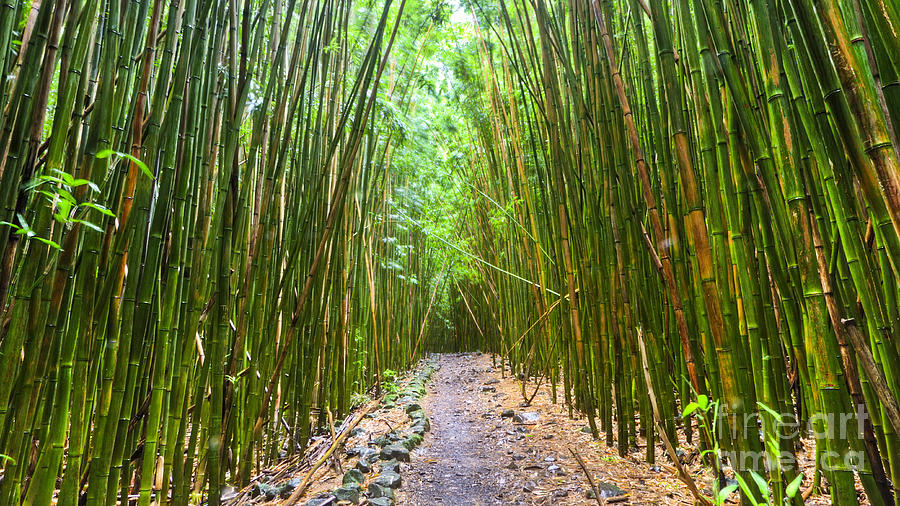 Bamboo Forest Photograph - Bamboo Forest Trail Hana Maui 2 by Dustin K Ryan