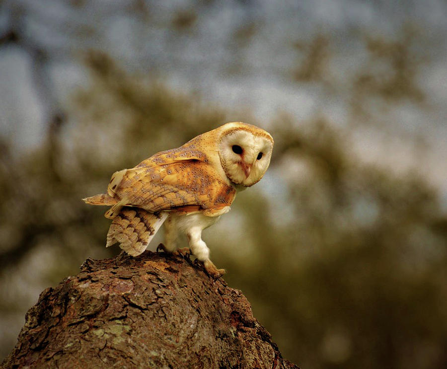 Barn Owl On Tree Photograph by Mike Gibbons