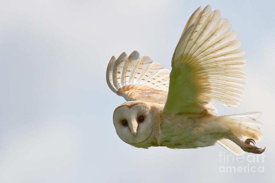 Barn Photograph - Barn Owl by Ruth Hallam