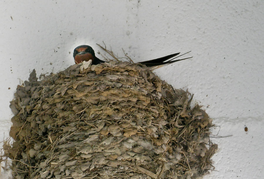 Barn Swallow Hirundo Rustica Photograph