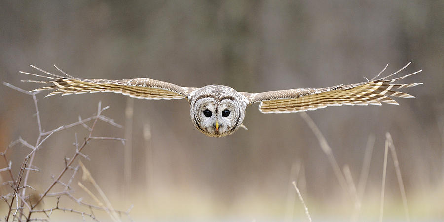 Barred Owl In Flight Photograph