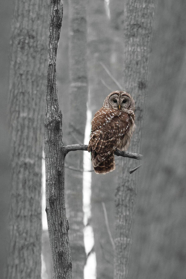 Barred Owl In Winter Woods #1 Photograph