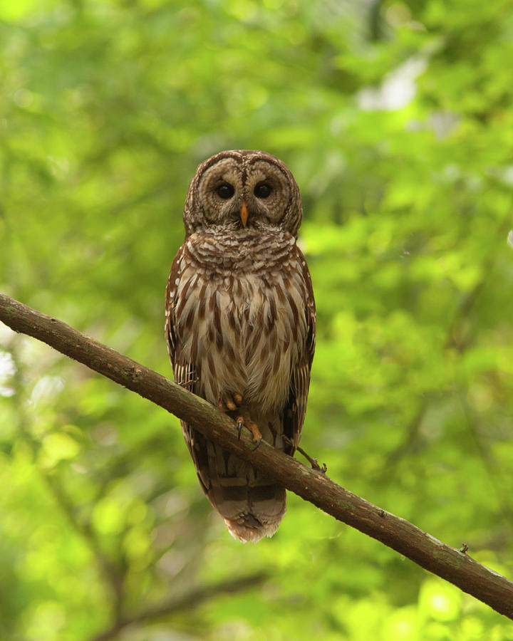 Barred Owl Standing Out In The Green Photograph