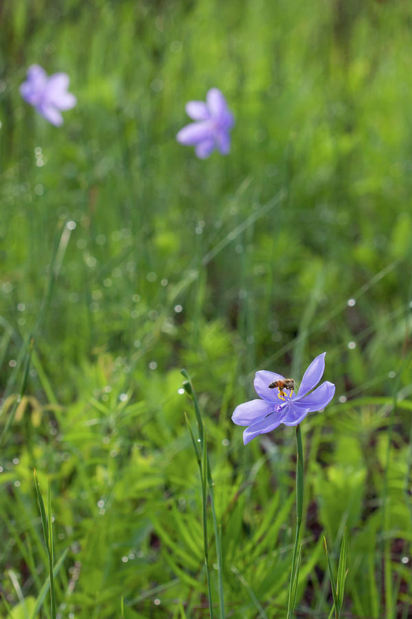 Bartrams Ixia And Bee #2 Photograph