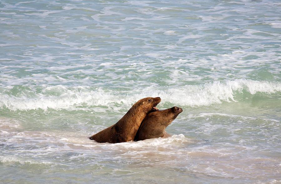 Sea Lion Photograph - Battle For The Beach by Mike  Dawson
