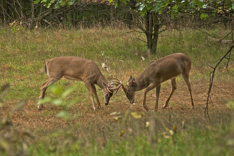 Whitetail Photograph - Battling Whitetails 0102 by Michael Peychich