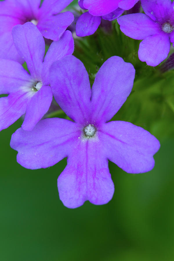 Beach Verbena Photograph