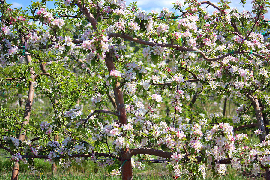 Blossoms Photograph - Beautiful Blossoms - Digital Art by Carol Groenen