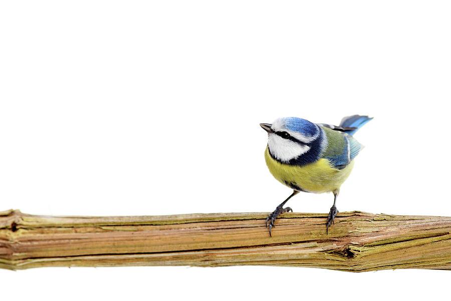 Beautiful Blue Tit Photograph