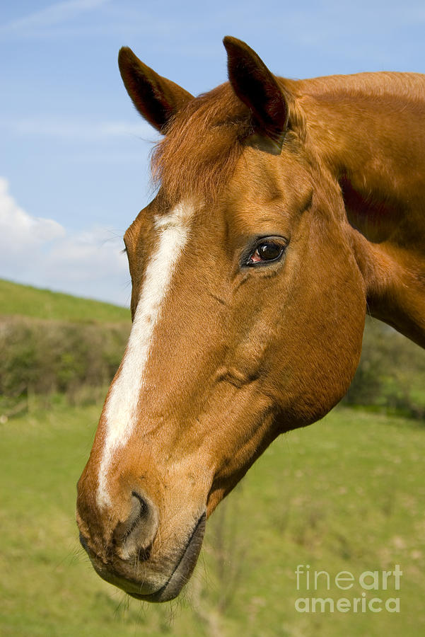 Beautiful Horse Portrait Photograph