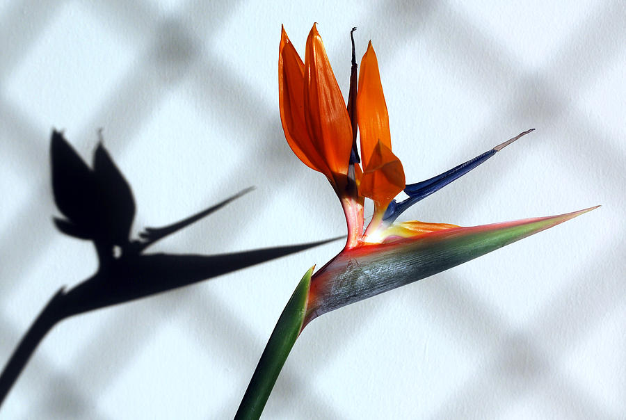 Bird Of Paradise Flower.crane Flower Photograph - Beauty And The Shadow by Terence Davis