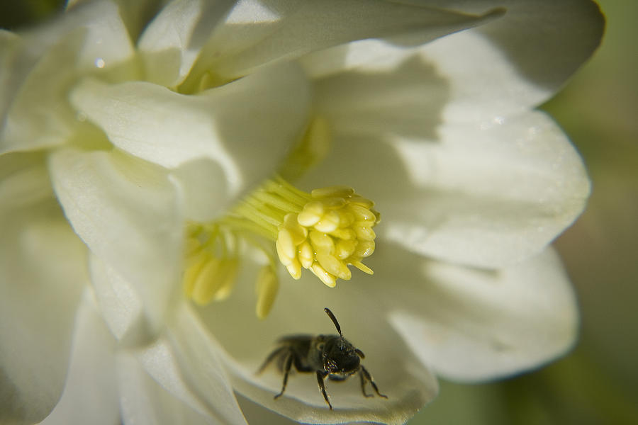 Columbine Photograph - Bee Mine by Teresa Mucha
