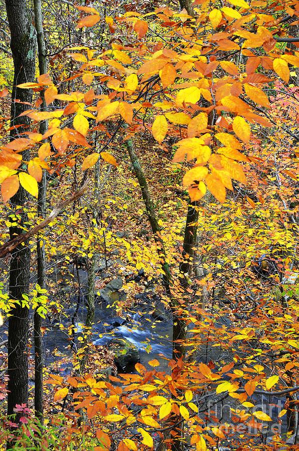 West Virginia Photograph - Beech Leaves Birch River by Thomas R Fletcher