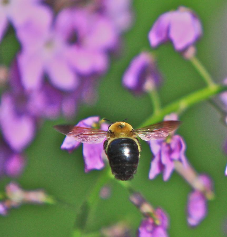 Related Tags:  Flowers Artwork Photograph - Beehind by Robert Pearson