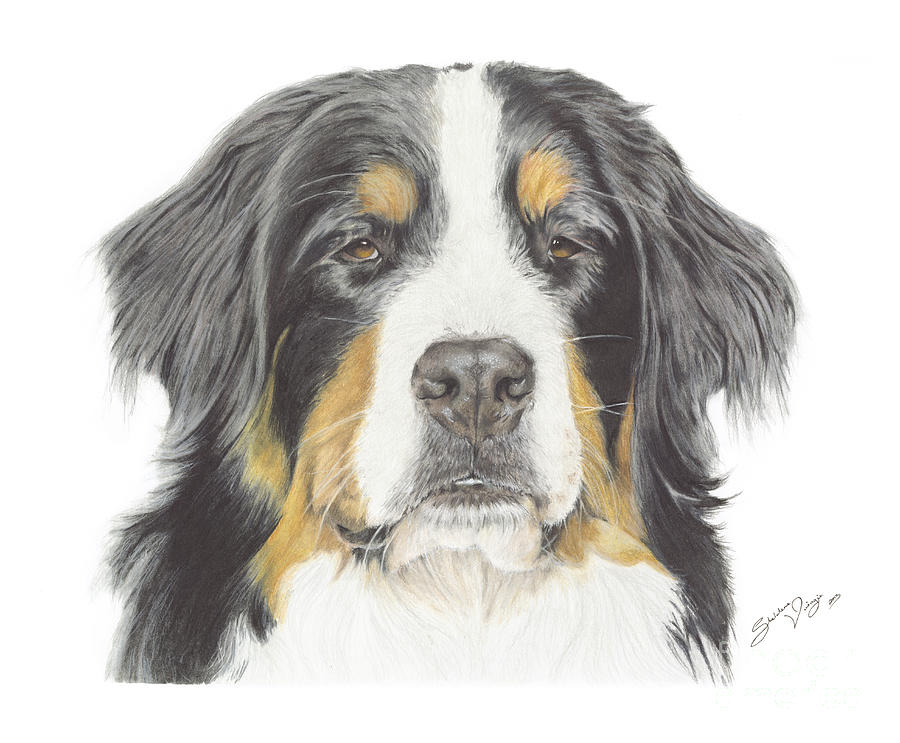 Bernese Mountain Dog Drawing Drawing By Sheldene Visagie