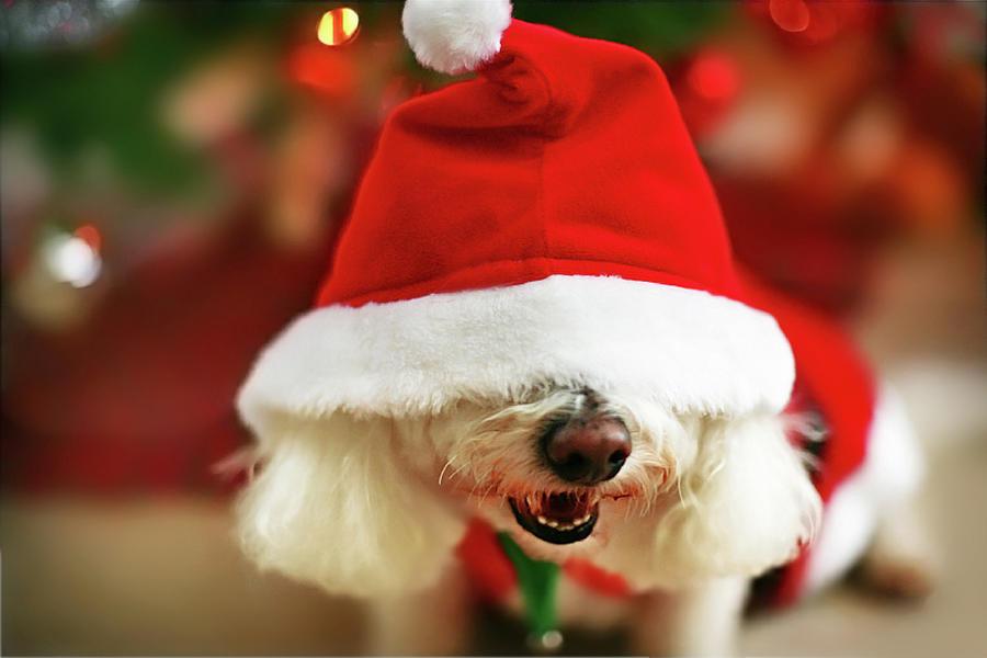 Horizontal Photograph - Bichon Frise Dog In Santa Hat At Christmas by Nicole Kucera