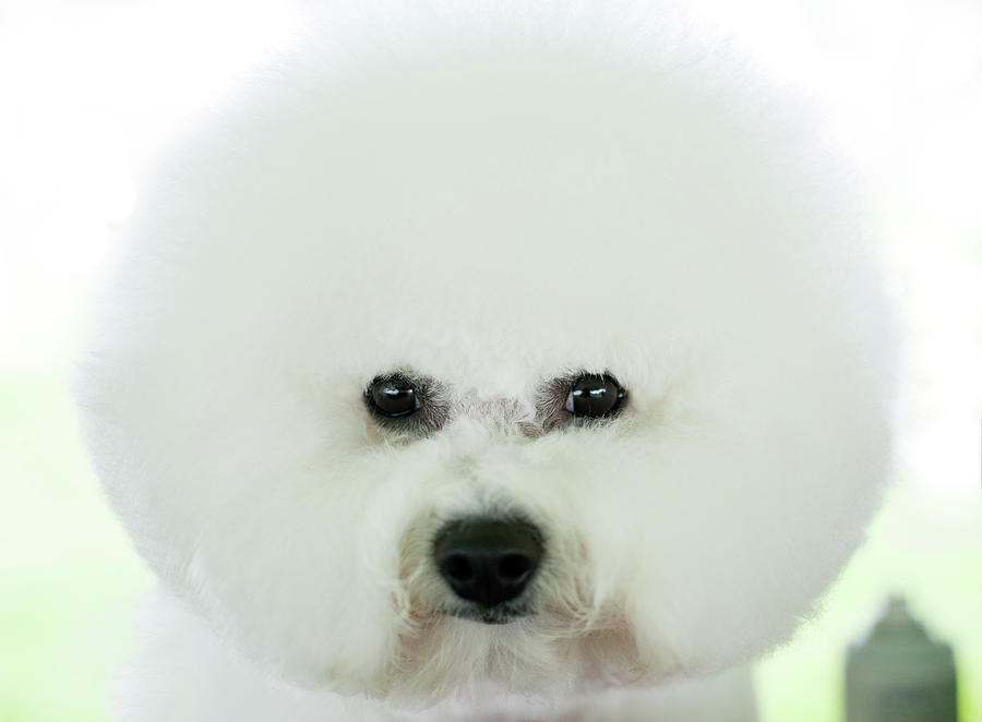 Bichon Frise Show Dog Photograph