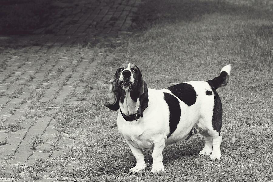 Dog Photograph - Big Barker by Toni Hopper