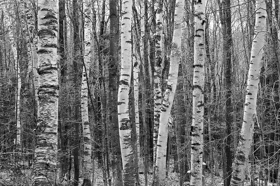 Horizontal Photograph - Birch Stand by Ron Kochanowski - www.kochanowski.us