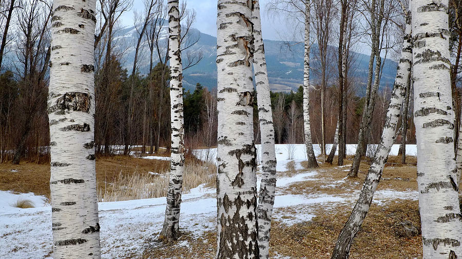 Birch Trees In The Alps Photograph