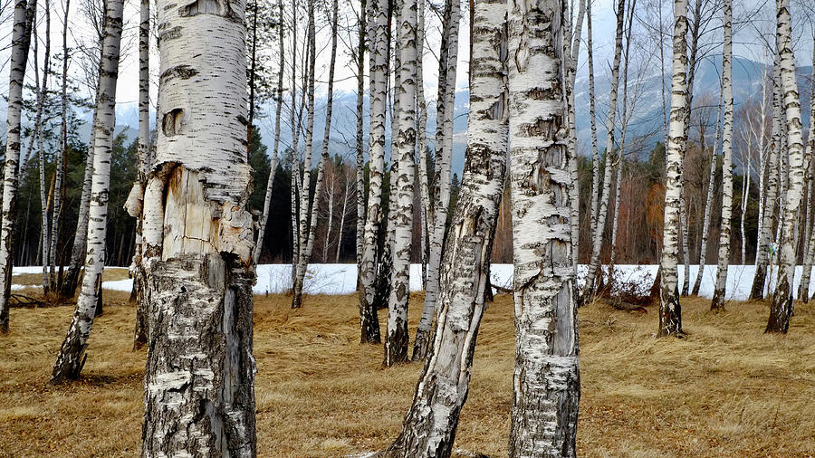 Birch Trees In Winter Photograph