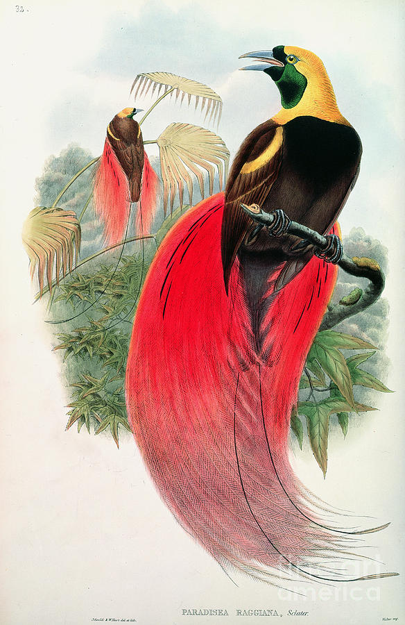 Bird Painting - Bird Of Paradise by John Gould