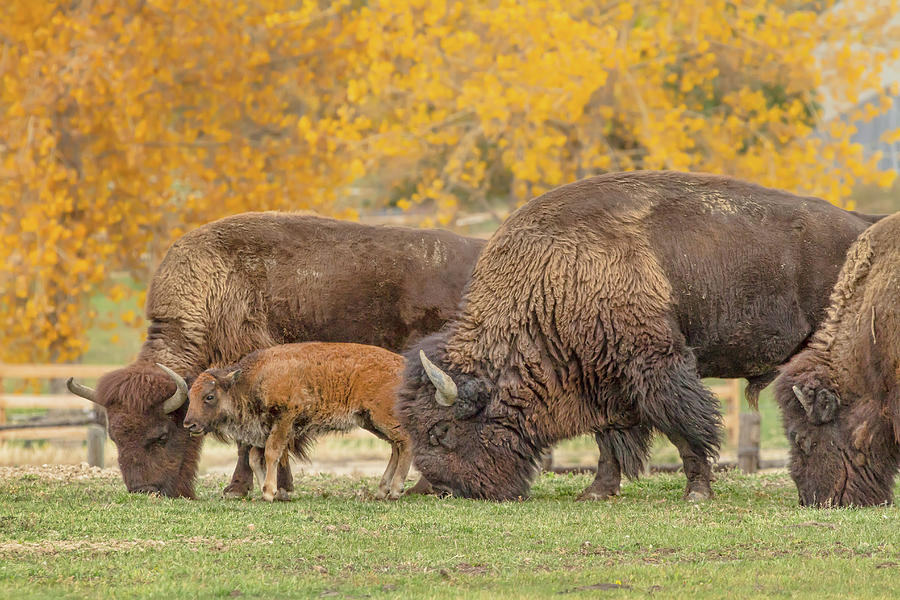 Bison Family Nation Photograph