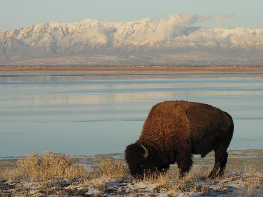 Horizontal Photograph - Bison In Front Of Snowy Mountains by Mathew Levine