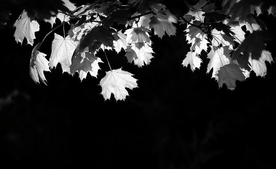 Black And White Backlit Leaves Photograph