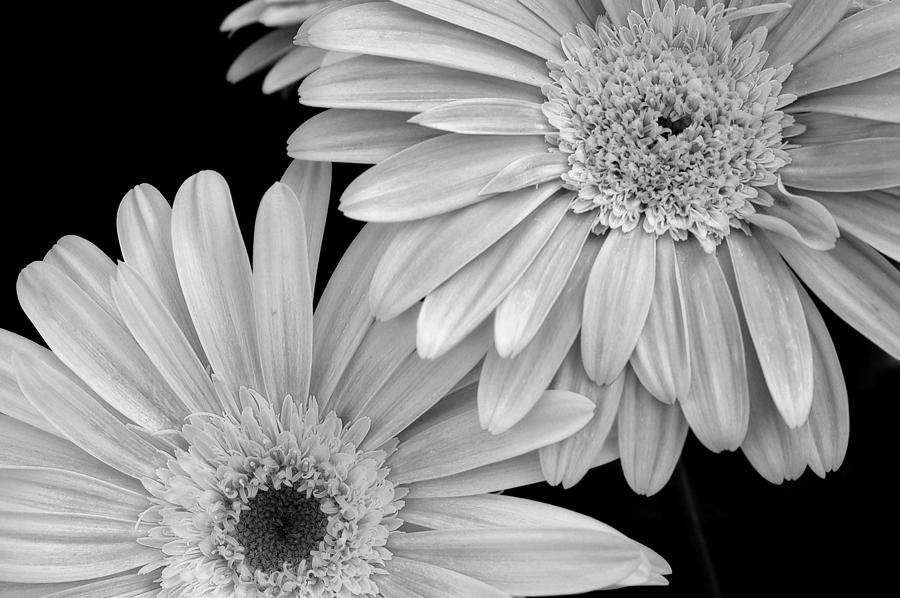 Flower Photograph - Black And White Gerbera Daisies 1 by Amy Fose