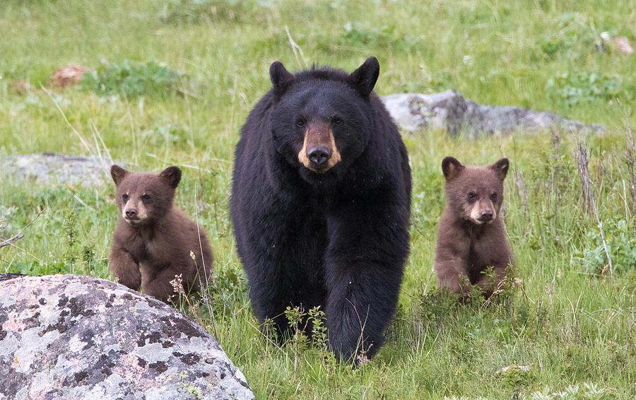 (funny)Black Bear; DISPLAY FULL IMAGE. |Funny Black Bear Family