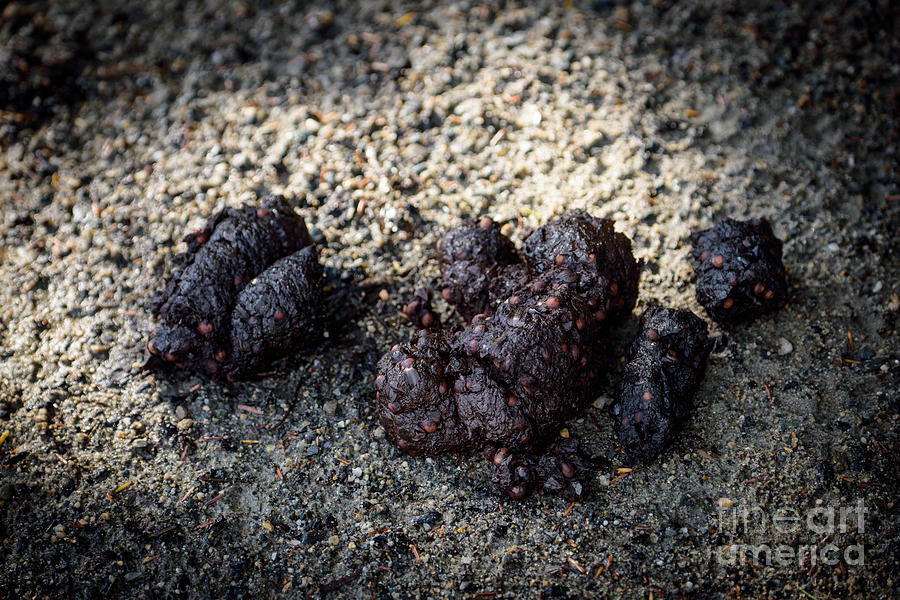 What does bear dung look like 10