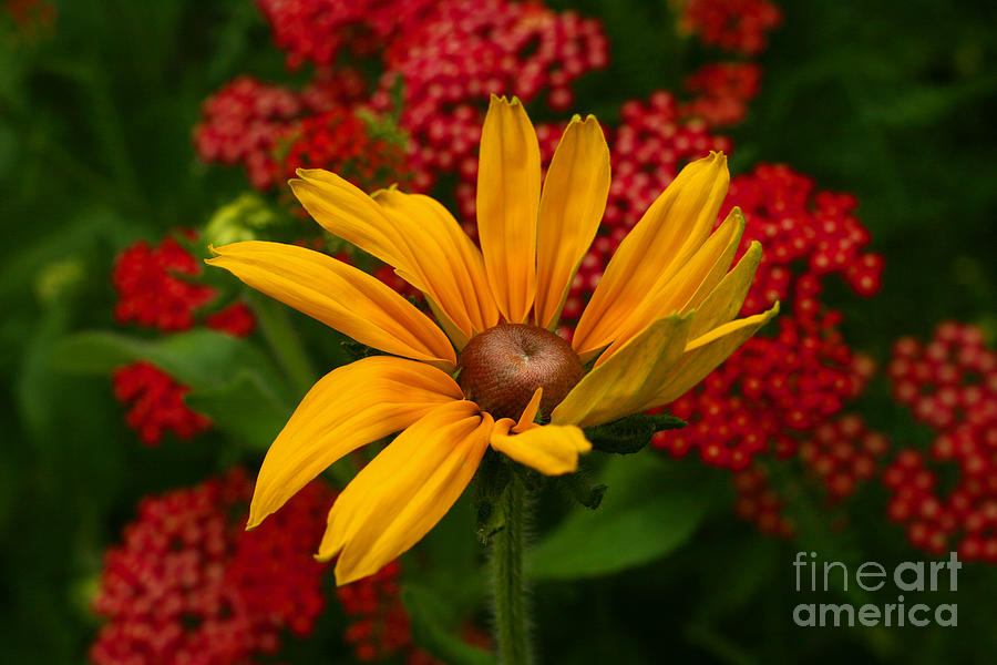 Blackeyed Susan Photograph - Black-eyed Susan And Yarrow by Steve Augustin
