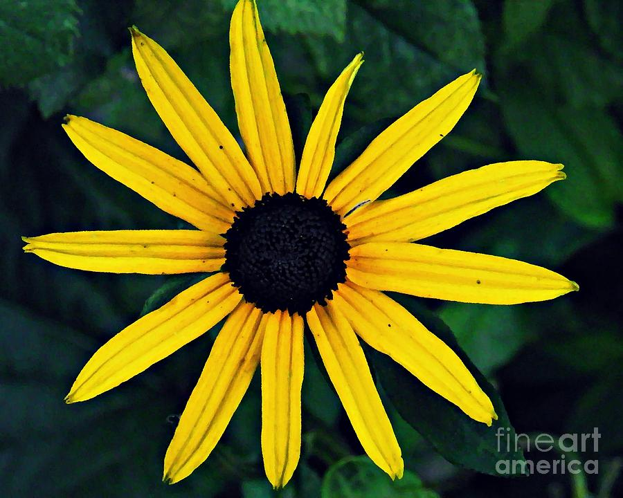 Black-eyed Susan Photograph - Black-eyed Susan by Sarah Loft