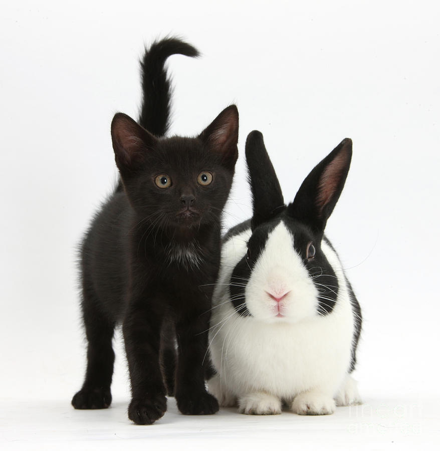 Nature Photograph - Black Kitten And Dutch Rabbit by Mark Taylor