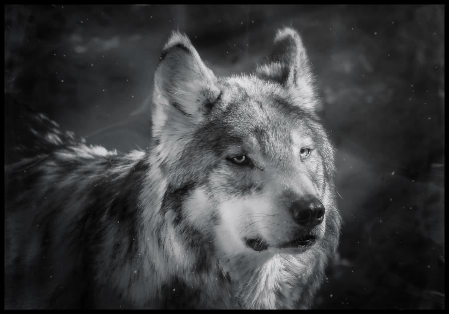 Black N White Wolf Photograph By Elaine Malott