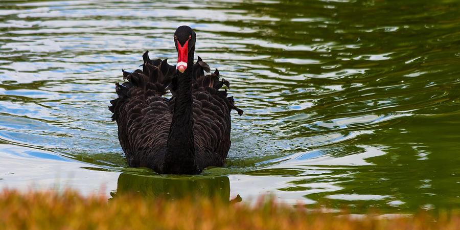 Black Swan Photograph
