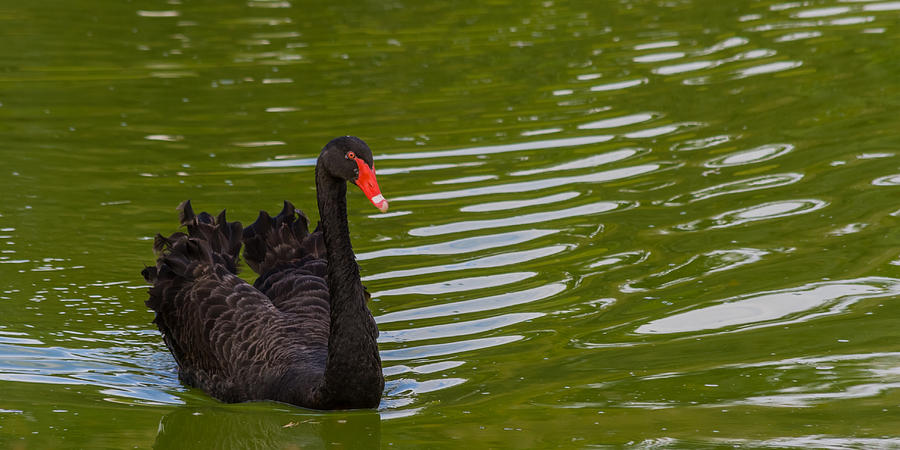 Black Swan II Photograph