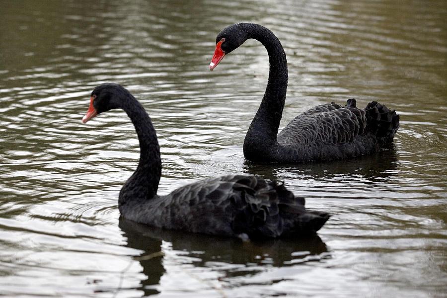 Black Swans Photograph