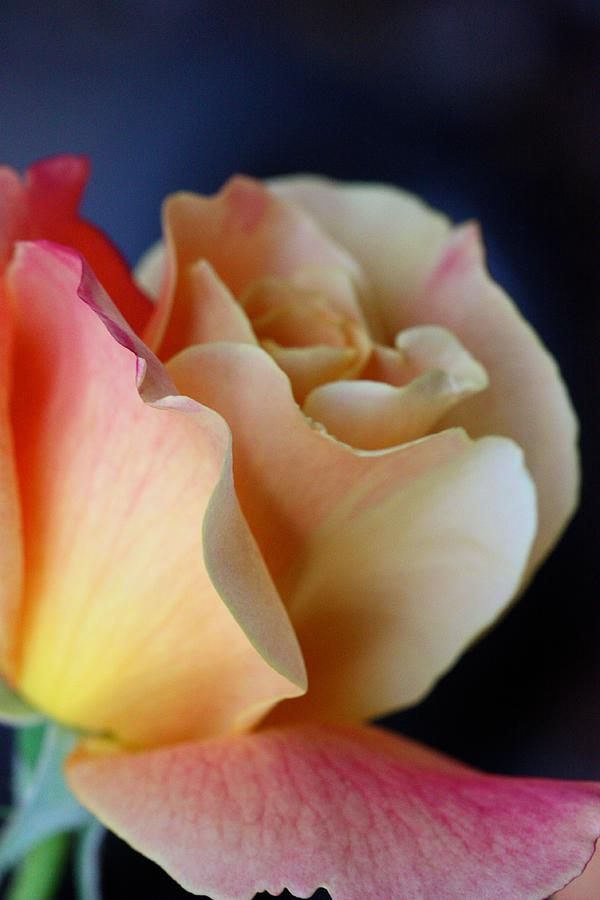 Rose Photograph - Bloom by KC Moffatt