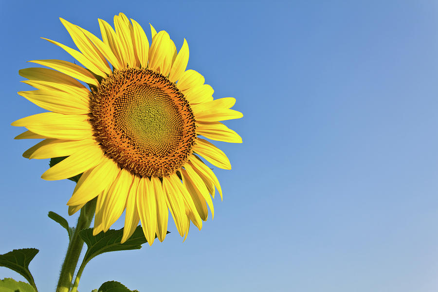 Blooming Sunflower In The Blue Sky Background Photograph