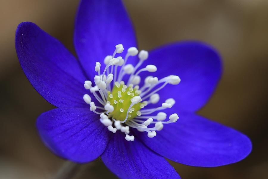 Blue Buttercup Photograph
