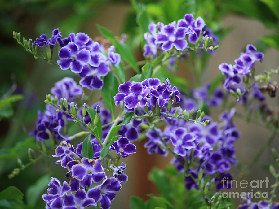 Blue Photograph - Blue Cottage Flowers by Carol Groenen