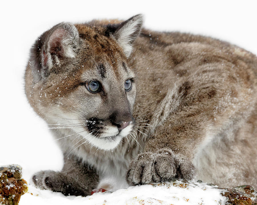 Blue Eyed Cougar Cub Photograph