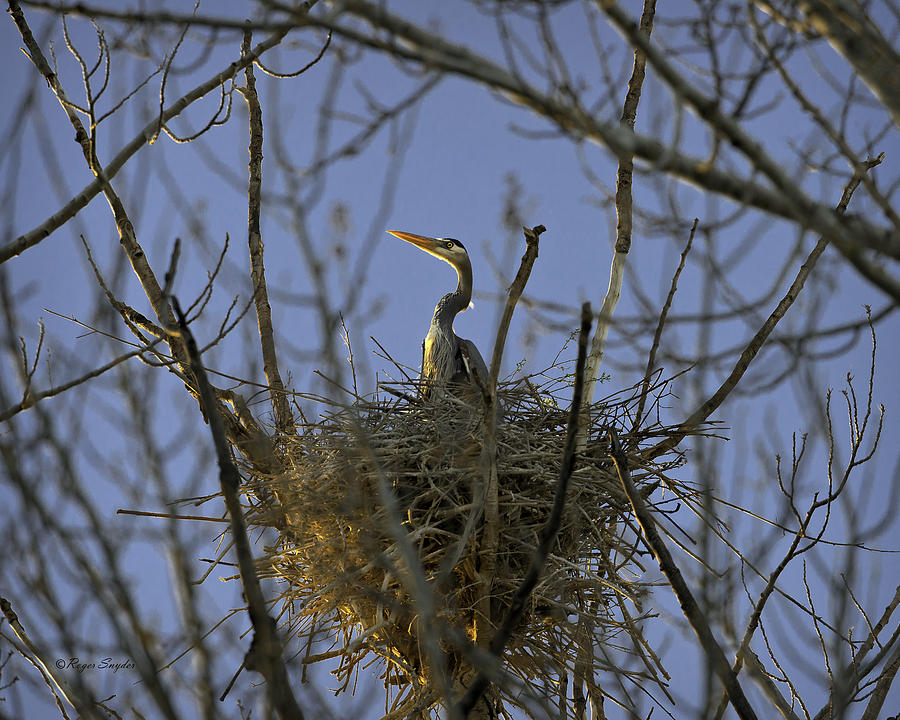 Beautiful Photos Photograph - Blue Heron 30 by Roger Snyder